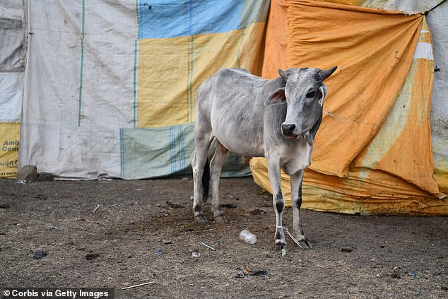 By eating beef, Mr Paul said he broke his religious vow and needed to be flown back to India to be 'purified' by priests
