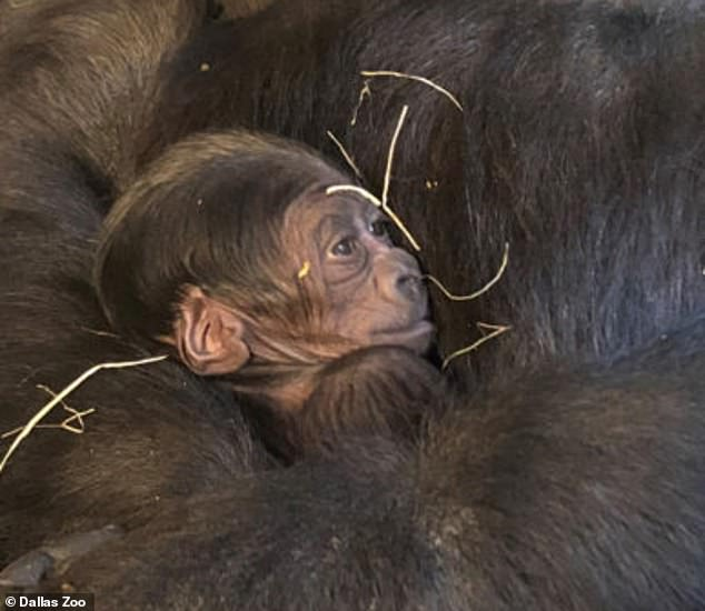 The zoo said that it planned to reveal the gender and name of the infant gorilla soon