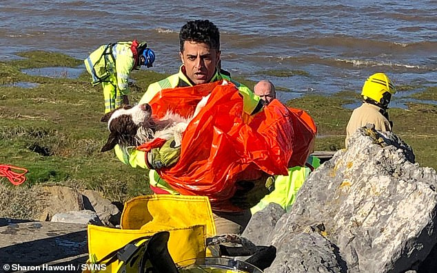 Red can be seen wrapped in a protective blanket after being swept out to sea in Fleetwood