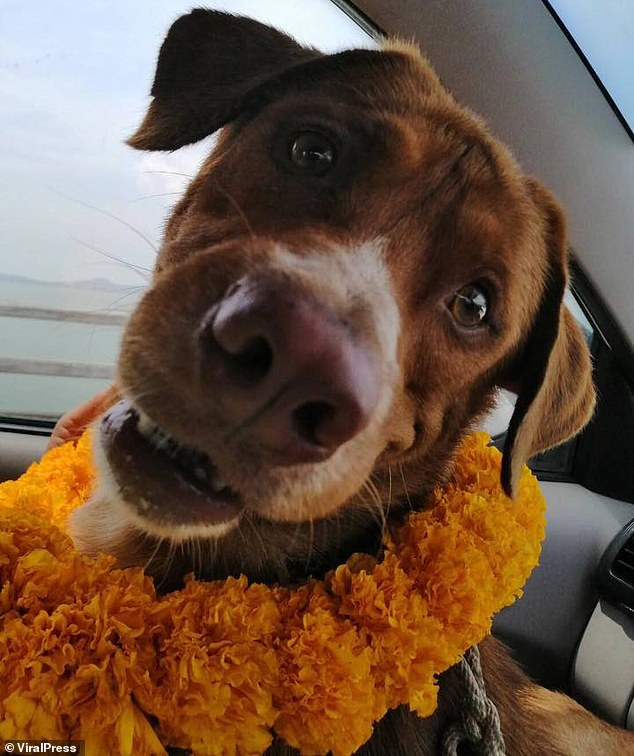The dog wears a lei of flowers and smiles at the camera from the back of a car as it returns to the mainland