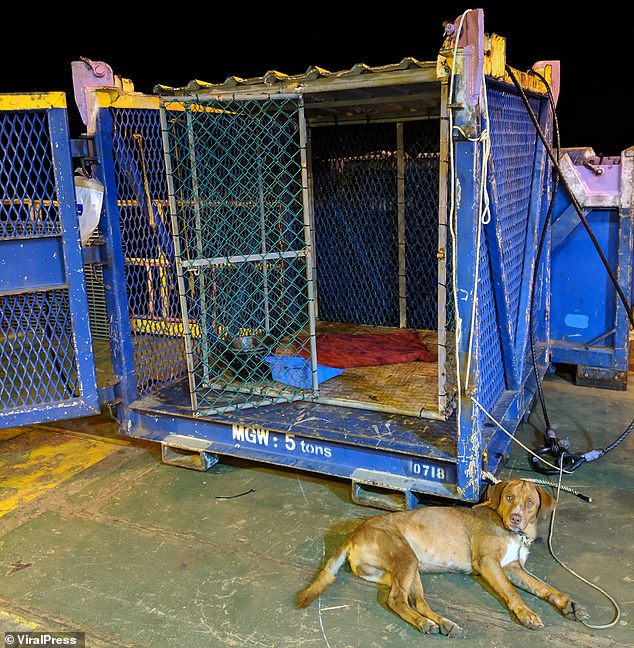 The tired mutt looks relaxed as she lies next to her makeshift cage on the drilling platform