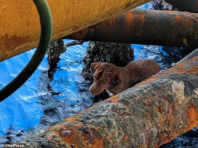 The brown Aspin hides among the rusty bars of the oil rig after being found swimming 135 miles off the coast of Thailand