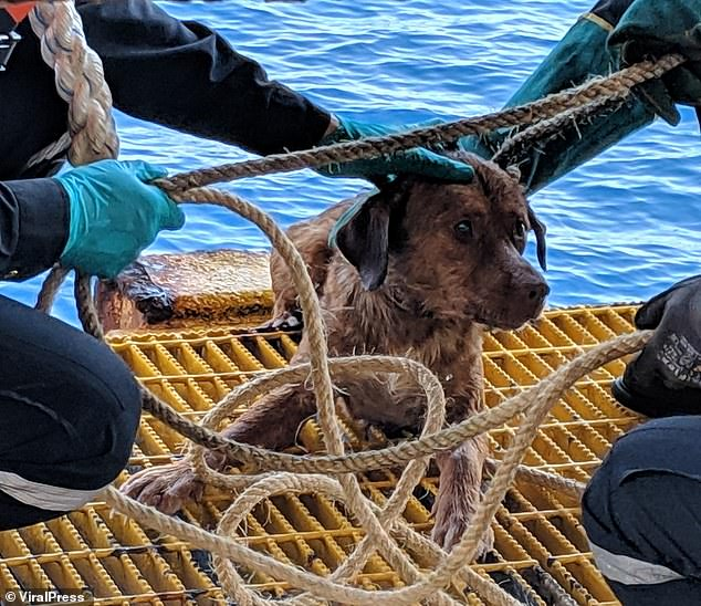 The dog lies on the metal grates of the rig with the rope still fastened around her body