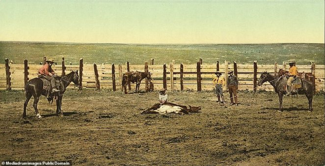A steer being successfully rounded up, lassoed to the floor and slaughtered.The loss of the bison and growth of white settlement drastically affected the lives of the indigenous Americans living in the West.A significant proportion of cowboys were of Latin or Chinese descent and black cowboys were also not uncommon during the period