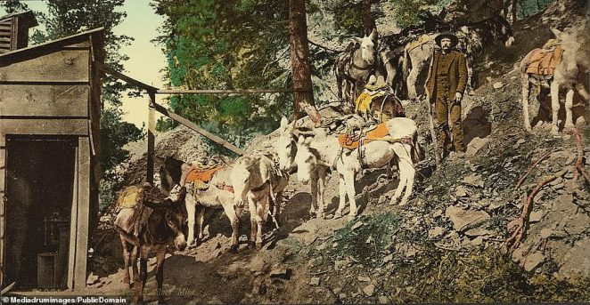 Loading up the donkeys with silver to carry it back to town. The life of the cowboy was far from glamorous, involving long, hard hours of labor, poor living conditions, and economic hardship. After losing decisive battles most of the Arapaho and Cheyenne tribes which lives in the areas affected by the rush were moved to a reservation in present-day Oklahoma