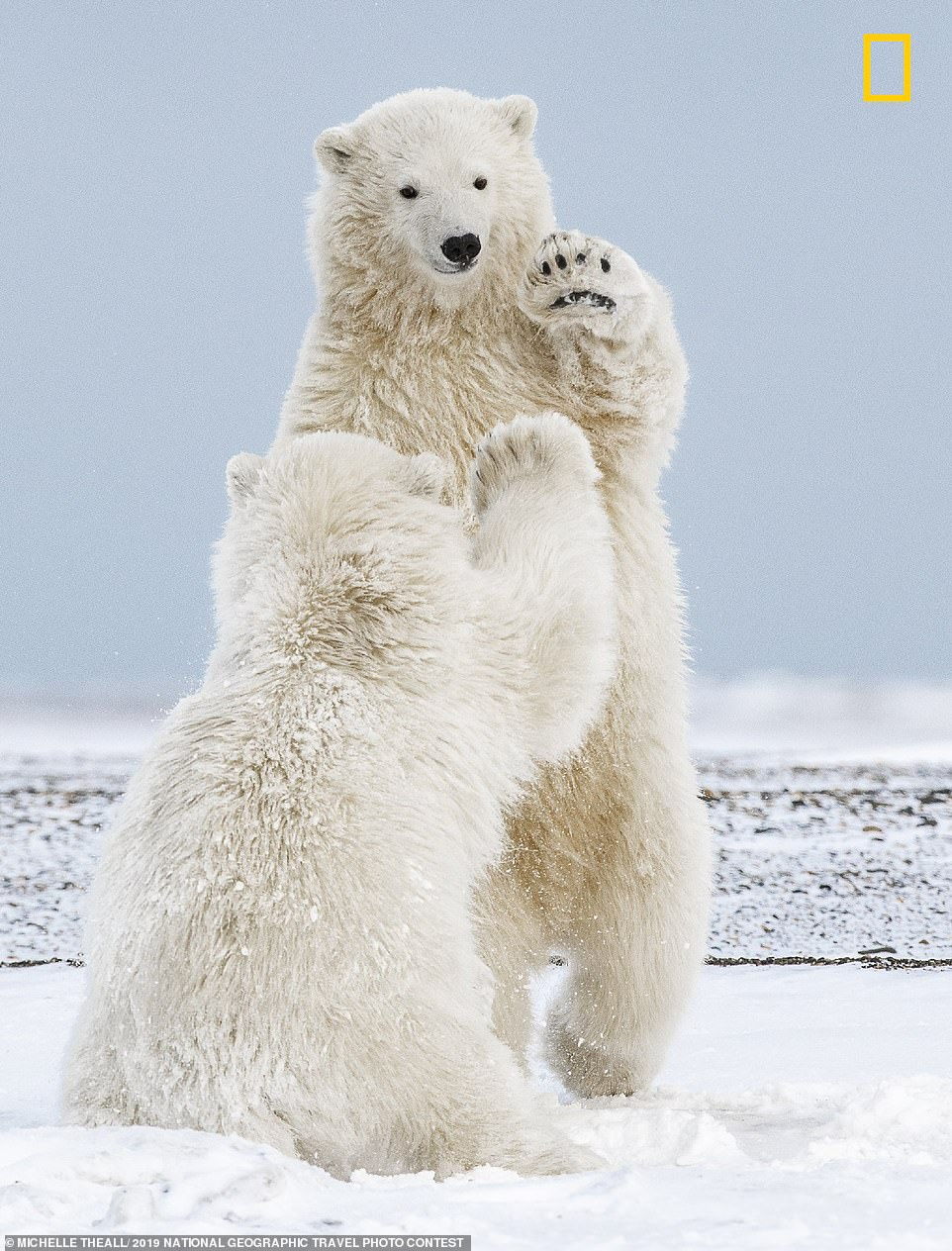 Michelle Theall said she rode an icebreaker along the Beaufort Sea in Kaktovik, Alaska, to capture these two polar bear cubs playing in the snow. She said: 'I was fortunate to grab this high-five moment, among so many other favorites. It's difficult to photograph the bears in snow at eye level on the ice and this close, because once the water freezes, the season is over for small skiffs. If you go too early, you only capture polar bears on dirt'