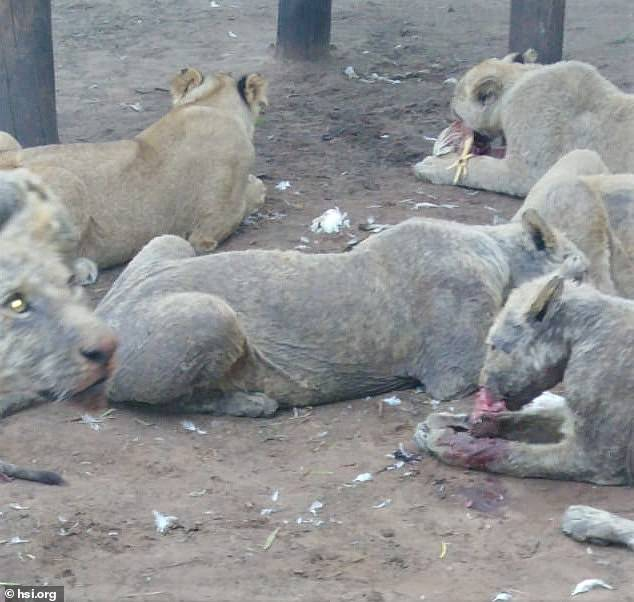 lions are bred in captivity across South Africa.