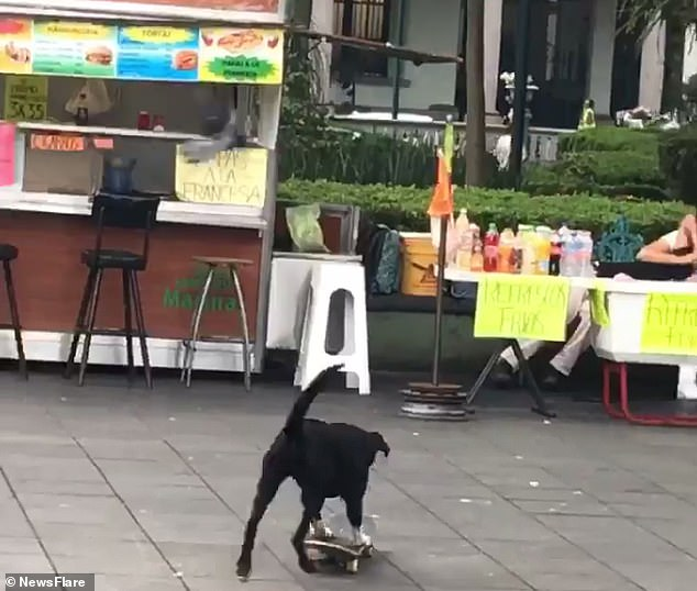 A dog hopped on a skateboard at a park in Veracruz, Mexico, the afternoon of May 7 and accidentally crashed into the vendors' table, spilling most of the beverages