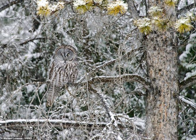 If you're not careful you might well miss this camouflaged owl taken by Michael Lenaour in his native Canada