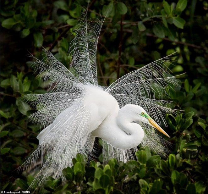 Brit Ann Aveyard got this elegant shot of a great egret flashing its feathers while he was on a trip to Florida