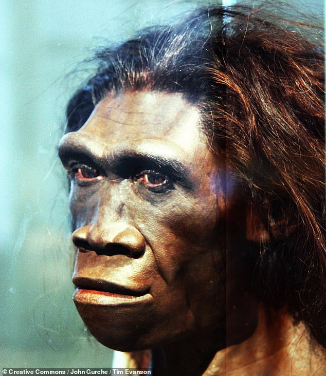 Researchers believe that these ancient hominins emerged around 2 million years ago — suggesting that they could be Homo erectus (pictured, in an artist's reconstruction)