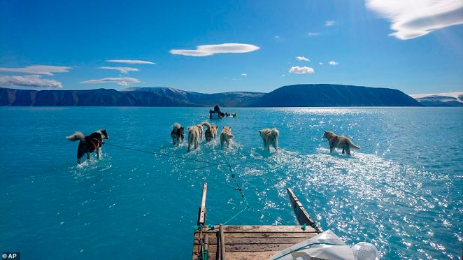 The astonishing image shows sled dogs wading through a layer of surface water over the cracked ice on theInglefield Bredning fjord in the far northwest of Greenland last Thursday