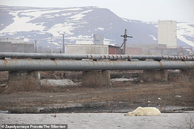 During the bear's long walk it was pictured by residents of Norilsk and at one point was seen lying on the ground in the industrial city's outskirts