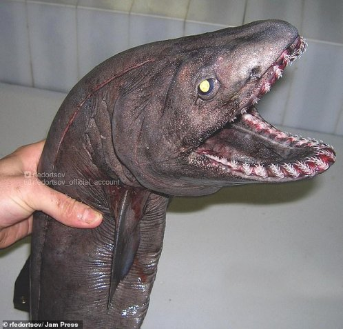 Frilling! This frilled shark shows its unusual teeth. The species has been called a 'living fossil' since it shows features of primitive fossil sharks. Its mouth is positioned at the front of its head, rather than underneath like most sharks. Its slender, eel-like body can grow to six feet (2m) long