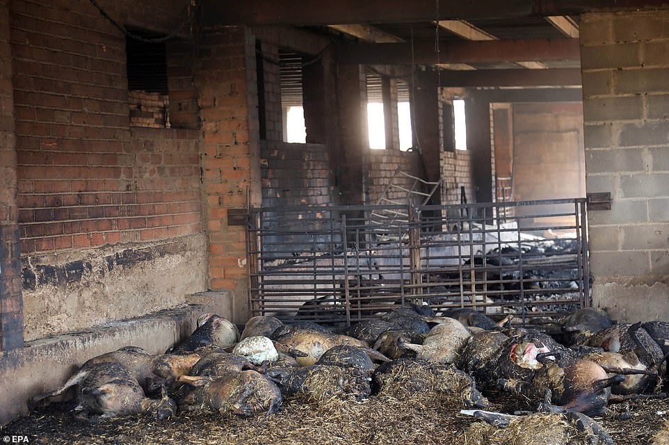 Distressing images show the bodies of a flock of sheep after their barn was hit by fierce forest fire inLa Torre De L'Espanyol