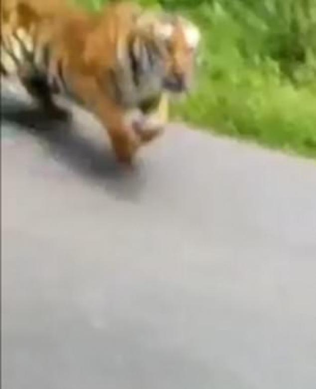 https://i1.wp.com/i.dailymail.co.uk/1s/2019/06/30/11/15440650-7197363-A_motorcyclist_narrowly_escaped_with_their_life_after_a_tiger_ch-m-35_1561890620212.jpg?resize=634%2C781&ssl=1