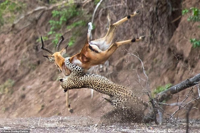 Contact: This is the dramatic moment a leopard appeared to fly though the air in order to pounce on a doomed impala and snare it for lunch
