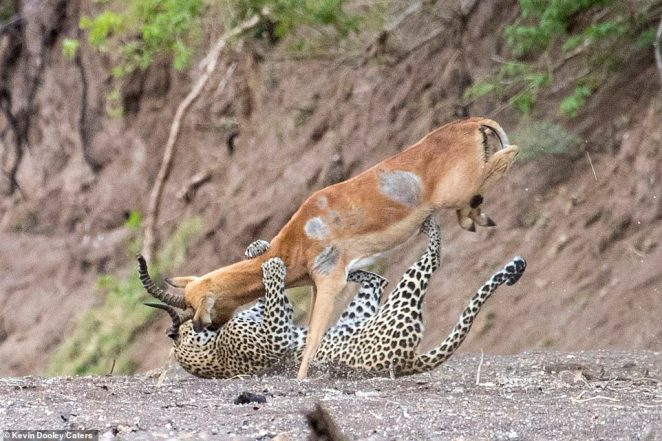 Mr Dooley said: 'We were photographing this leopard with her cub. Both were showing signs of being hungry. Soon the leopard left the cub in the safety of a thick bush and headed down the river bed in search of food.' After the attack, he added:'I could not believe my eyes'
