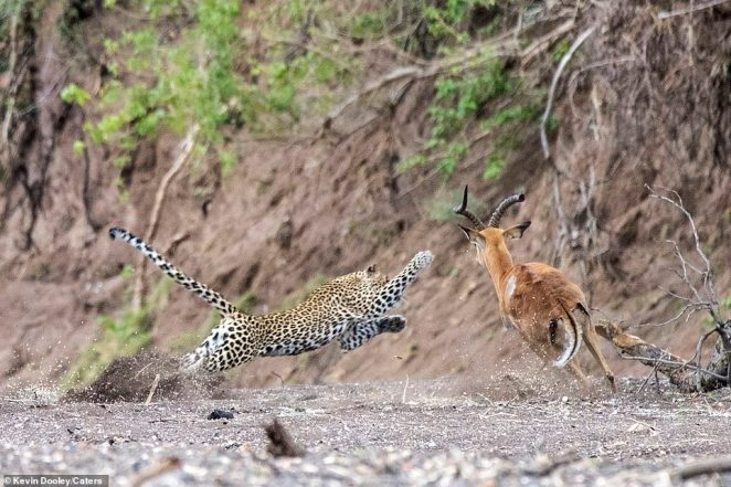 Pounce: The leopard extends its paws and opens up its body as it hurtles through the air towards the impala, which strangely seems to change direction towards the predator - possibly to avoid a fallen branch