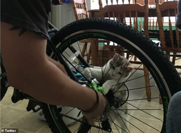 Handy around the house! Another tiny kitten attempted to help it's owner in Oakland as he fixed his bicycle spokes