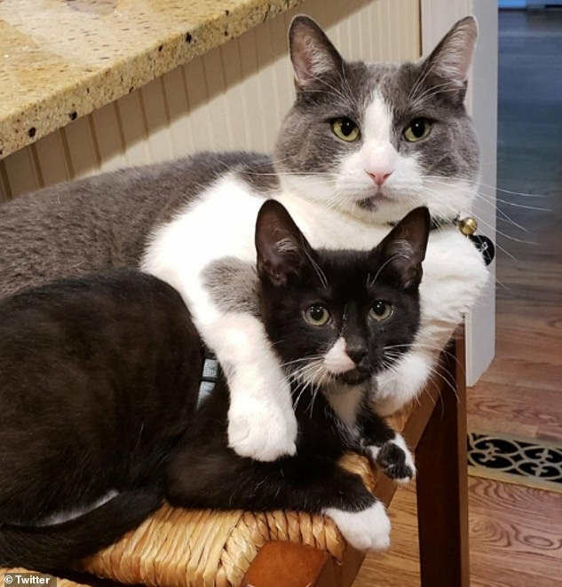 Cuddle time! Two adorable kittens cuddle up to one another as their owner, whose location is unknown, manages to grab a candid picture