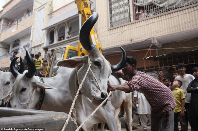 Back down to earth: The animals will be sacrificed as part of a Muslim festival commemorating prophet Ibrahim's willingness to sacrifice his son for Allah
