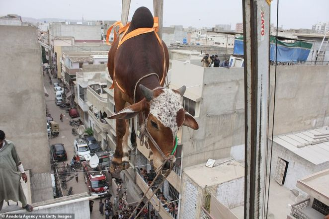 Hoof-way there: After maneuvering the animal from the roof, the crane then begins the process of lowering the cow to safety