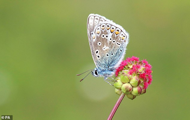 The butterfly has been 'struggling for the last 40 years', according to the charity, but common blue populations increased by 104 per cent in the summer of 2018 compared with the previous year thanks to warm weather