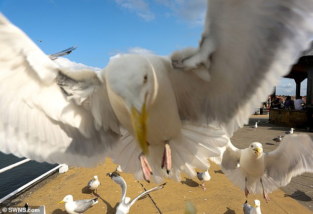 Seagulls are less likely to steal your food if you make eye contact with them, a University of Exeter study has found (file photo)