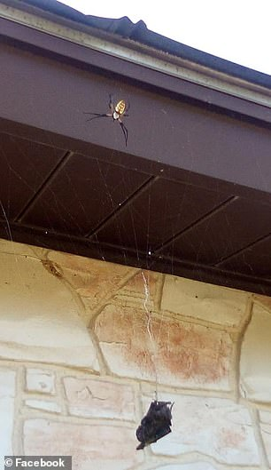 Annette Alaniz Guajardo captured the images and watched as the spider rappelled down its lengthy web