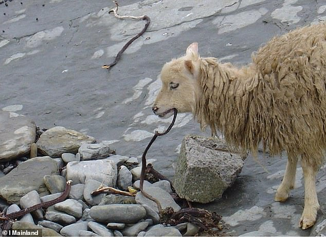 The study found that sheep began to consume moderate amounts of seaweed (pictured) from the moment of their introduction to Orkney