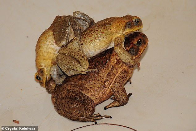 This image shows how confusing things can get in a toad mating situation – a male is clasping the female and another male is grabbing the first guy (pictured)