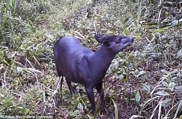 In context:The first sighting of these antelopes - named Abbott's duiker - hails back to 2003, but now a team from Germany's Julius-Maximilians University have captured them on camera