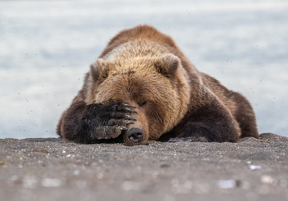 Oh dear! It all seemed too much for this sleepy bear, who placed a large paw over its eye while taking a nap on the floor