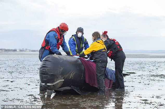 The exercise, saw 70 volunteers rehearse the steps they would take if a group of whales became trapped on shore