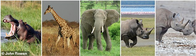 The last remaining megaherbivores in Africa today are the hippopotamus, giraffe, elephant, white rhinoceros, and black rhinoceros.