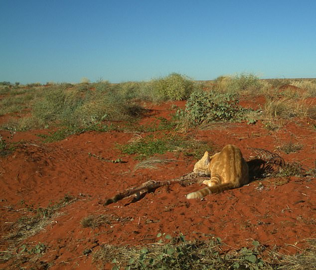 A feral cat is seen scavenging on a large 30kg kangaroo atBush Heritage Australia's Ethabuka Reserve