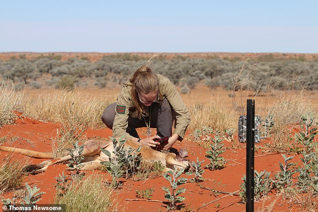 She said seeing the cat devour the dead kangaroo (pictured) was a twist in her research