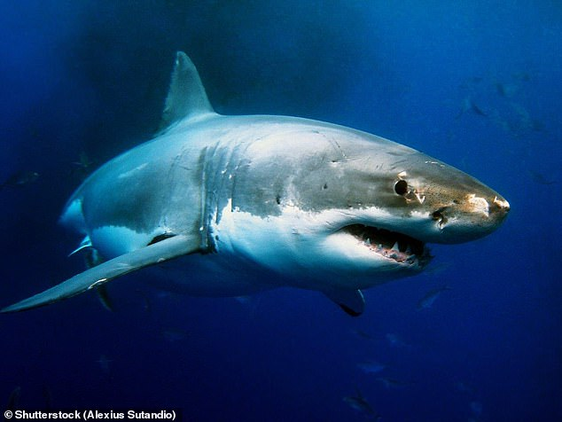 Great white sharks, which are carnivorous and have hundreds of serrated teeth, grow to be upwards of 15 feet (4.6m) long and weigh more than two-and-a-half tonnes (stock image)