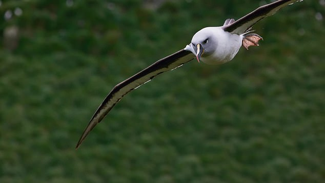 The adult Albatross was seen flying away in order to retrieve food for its baby