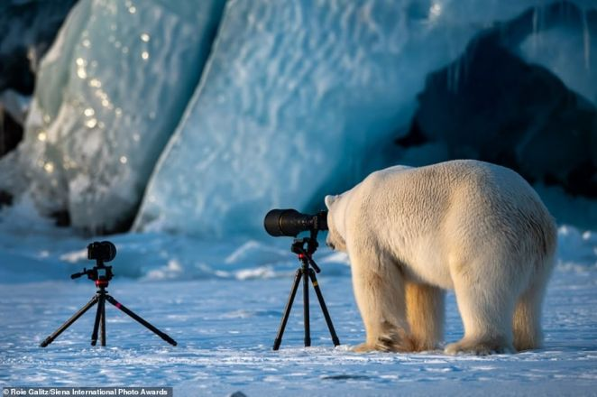This amusing picture of a polar bear taking up photography in Svalbard, Norway, is shortlisted in theJourneys & Adventures category
