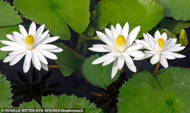 Just like a water lily, a Pisces are artistic and whimsical in their approach to life. Stock image