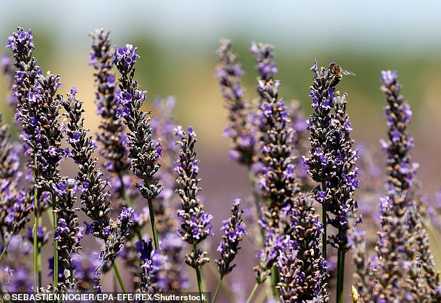 Sociable Gemini's will feel most connected to lavender flowers, which grow in abundance in country gardens. Pictured, stock image