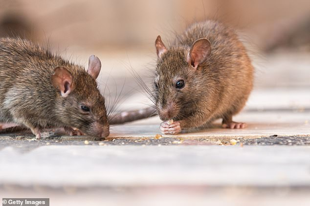 Although rats are seen as the main carriers of the illness, it can also be spread by the urine of other animals such as cattle, mice, foxes and badgers