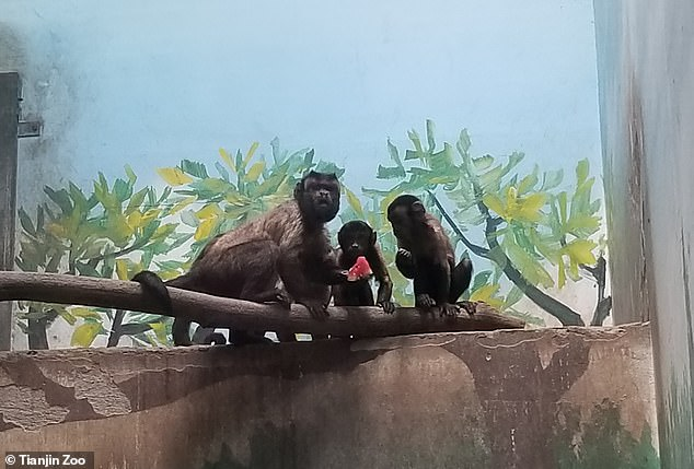 The human-faced monkey is pictured eating watermelon accompanied by two young monkeys
