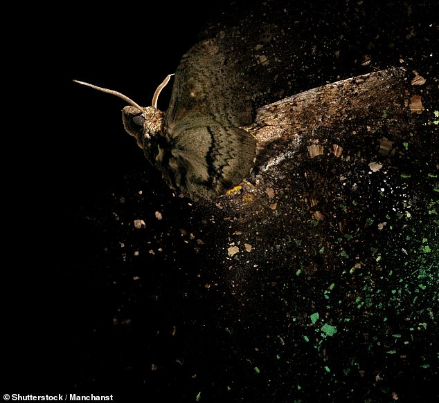 Biologist Thomas Daniel of the University of Washington in Seattle and colleagues mounted eight tobacco hawk moths — or Mantuca sexta — on the end of metal rods that were connected to a torque meter. Pictured, an artist's impression of a hawk moth in flight