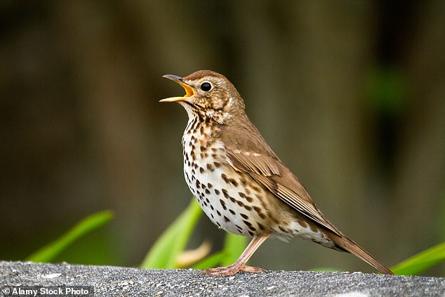 An undated file photo shows a song thrush, a species that has been hit the loss of hedgerow and woodland habitats