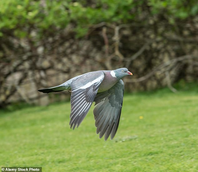 An undated file photo shows a wood pigeon mid-flight.In last year¿s survey, the top five most spotted were the house sparrow, starling, bluetit, blackbird and wood pigeon