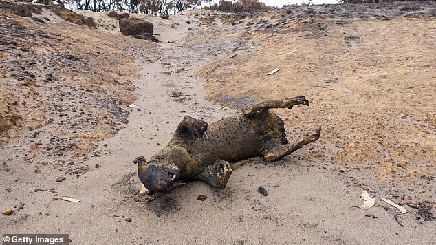 Andrea Lewis recently visited Kangaroo Island and said she was 'confronted with the sight of dead, burnt animals everywhere' and the 'the smell of death was simply overwhelming'. Pictured: The burnt carcass of a koala that perished on Kangaroo Island