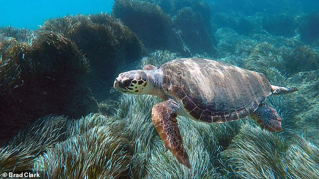Loggerheads return to the same feeding grounds year after year - prompting calls for them to be turned into conservation areas